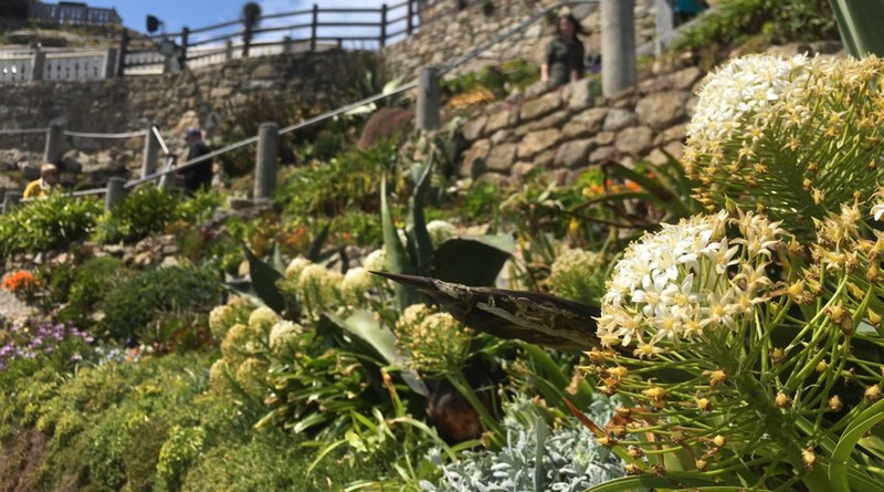Minack Theatre, Porthcurno, Penzance, Cornwall. has beautiful plants and flowers