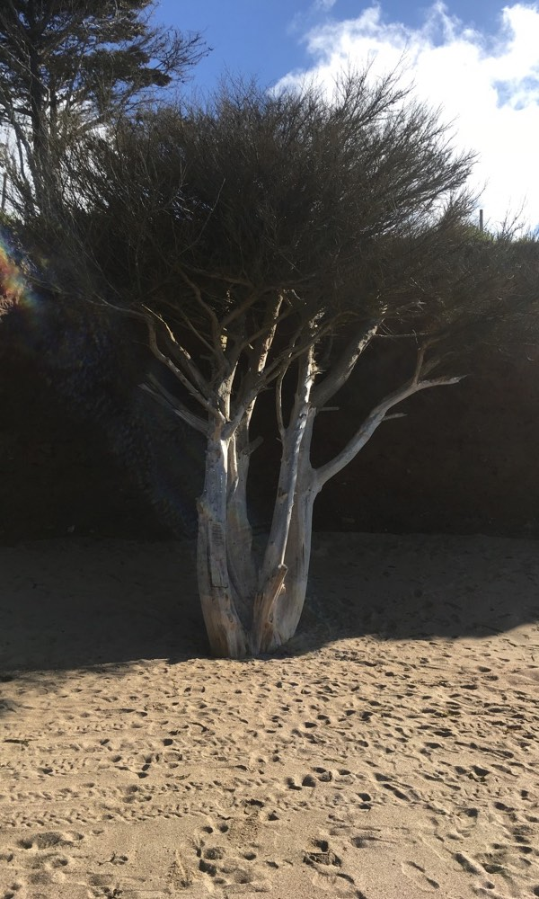 The fallen Tree at Praa Sands is located half way between the towns of Penzance and Helston Cornwall